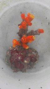 エントウキサンゴ(ジュウジキタイプ)・・土台付き