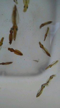 画像4: 《近海産甲殻類》世界最小のイカ・・ヒメイカの3匹セット…当店ハンドコート採取