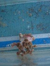 フタリビワガライシ(ポリプグリーンタイプ)