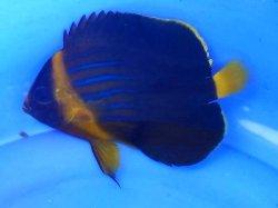 画像1: キンチャクダイ・・幼魚
