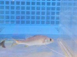 画像4: 《近海産》スズキ(シーバス)幼魚…当店ハンドコート採取