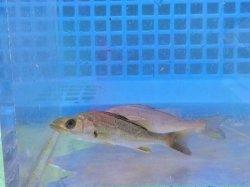画像3: 《近海産》スズキ(シーバス)幼魚…当店ハンドコート採取
