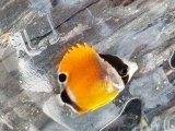 《近海産海水魚》☆☆☆激レアサイズのツキチョウチョウウオ幼魚(熊野灘産)・・当店ハンドコート採取