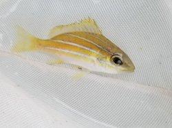 画像1: ヨスジフエダイ幼魚…スーパーセール