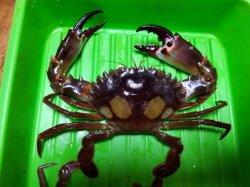 画像1: 《近海産甲殻類》モンツキイシガニ…当店ハンドコート採取