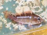 オビブダイ幼魚
