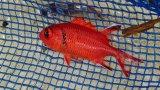 アカマツカサ幼魚(5センチ±)・・スーパーセール