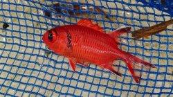 画像1: アカマツカサ幼魚(5センチ±)・・スーパーセール