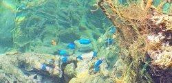 画像4: 《近海産海水魚》ソラスズメダイの3匹セット…ハンドコート採取
