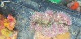 グビジンイソギンチャク(多色)