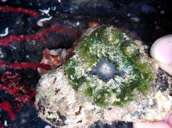 画像1: グビジンイソギンチャク(グリーン系)