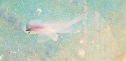 画像3: ハナビラウオ幼魚(珍)