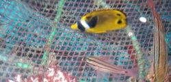 画像3: チョウハン 幼魚 ハンドコート個体
