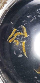 フジエラミノウミウシ(極小種) 5匹セット