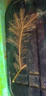オウギハネウチワ(約18センチ±)