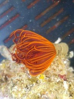画像3: 《近海産海洋生物》ケヤリムシ(Sサイズ)5本セット…当店ハンドコート採取