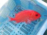 【珍】カイエビス☆★☆鮮やかな赤に白斑点・・送料無料!
