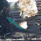 ☆☆サバ幼魚(マサバ、ゴマサバ)の2匹セット・・ハンドコート