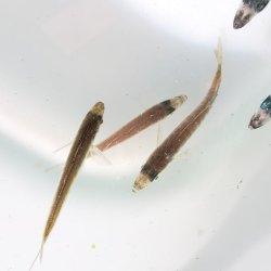 画像1: マアジ幼魚(豆アジ)・・2匹セット