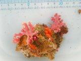 サンゴモドキ