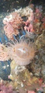 深海産イソギンチャク(熊野灘産)…種不明