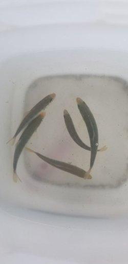 画像1: ブリ幼魚(Sサイズ)の3匹セット…大量捕獲セール(3匹1箱梱包)