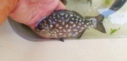 画像5: ☆★イスズミ幼魚