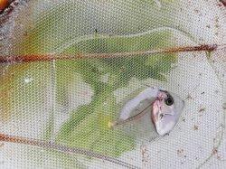 画像2: ☆★当店ハンドコート…コクテンサザナミハギ幼魚(珍サイズ)