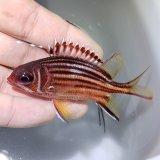 《近海産海水魚》アヤメエビス幼魚‥当店ハンドコート採取