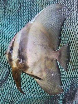 画像1: 《近海産》ツバメウオ (丸型)…ハンドコート採取