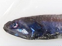 画像3: 《近海産深海魚》ハダカイワシ科の1種(冷凍個体)