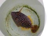 《近海産海水魚》(珍)ハクセイハギ…ハンドコート採取(感謝セール)