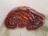 《近海産甲殻類》シマダコ…ハンドコート採取