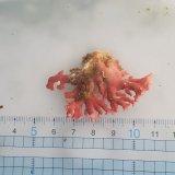 《近海産海洋生物》サンゴモドキ…生け簀育成個体(5センチ前後)