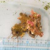 《近海産海洋生物》サンゴモドキ…生け簀育成個体(6センチ前後)