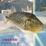 《近海産》ツバサモンガラ属の1種 Xenobalistes punctatus の若魚…ハンドコート採取
