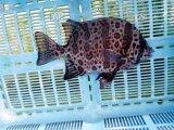 《近海産海水魚》キンダイ(イシダイ/イシガキダイ天然交配)…ハンドコート採取