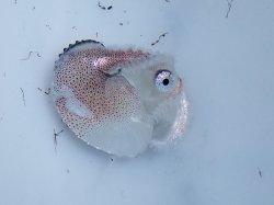 画像1: 《近海産甲殻類》アオイガイ…ハンドコート採取