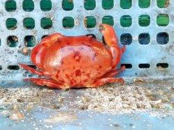 画像5: 《近海産甲殻類》ユウモンガニ…ハンドコート採取