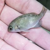 《近海産》メジナ 幼魚(5〜6センチ前後)…当店ハンドコート採取