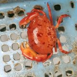 《近海産甲殻類》ユウモンガニ…ハンドコート採取