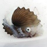 《近海産甲殻類》タコブネ(Lサイズ)…ハンドコート採取