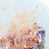 《近海産海洋生物》タコアシサンゴの仲間(ニイノタコアシサンゴ)…ハンドコート採取