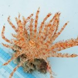 《近海産海洋生物》ウミシダの仲間…ハンドコート採取