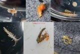 《近海産甲殻類》ウミウシ類おまかせ5匹セット…当店ハンドコート採取
