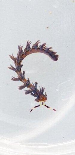 画像2: 《近海産海洋生物》ムカデミノウミウシ Sサイズ…当店ハンドコート採取