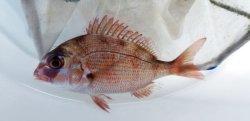 画像2: 《近海産海水魚》マダイ(Мサイズ)…天然物ハンドコート