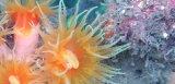 《近海産海洋生物類》オオエダキサンゴ…長期間育成個体