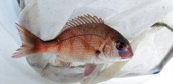 画像1: 《近海産海水魚》マダイ(S)…ハンドコート採取