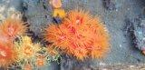 《近海産海洋生物類》タバネイボヤギ…長期間育成個体
